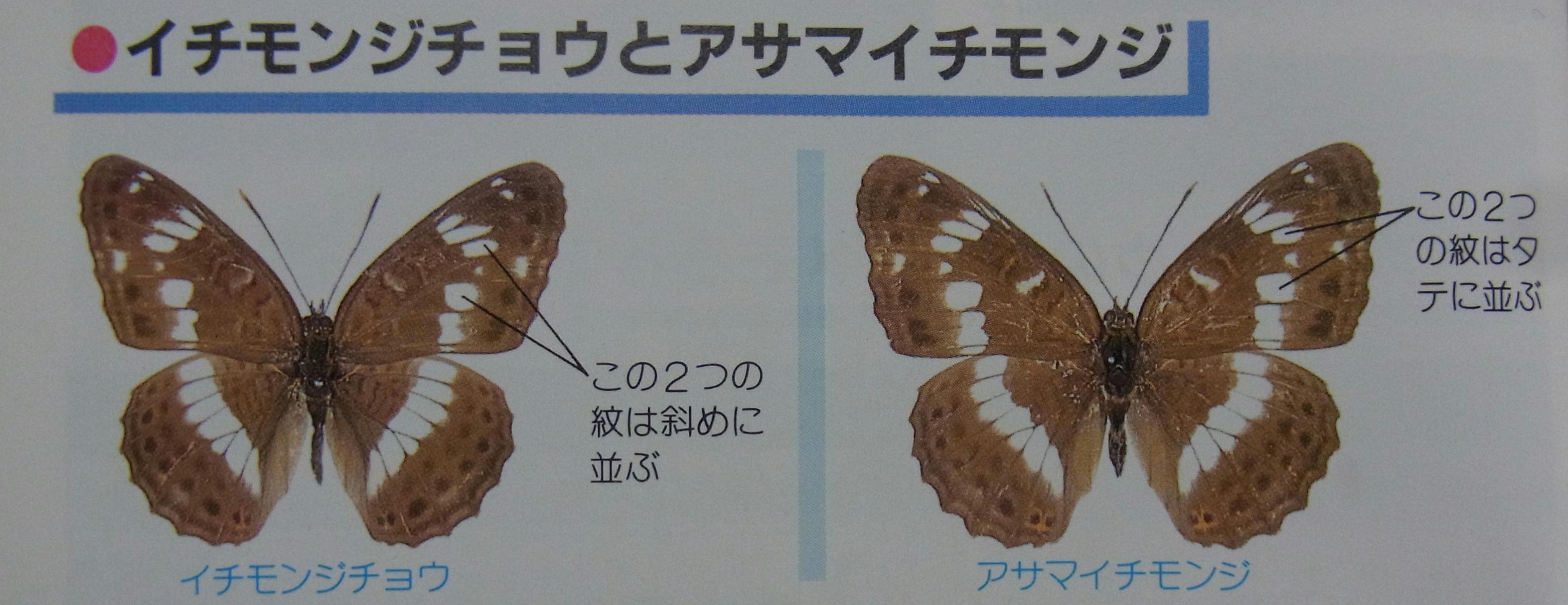 類似2☆ イチモンジチョウ × アサマイチモンジ  翅表比較図Ⅱ_a0146869_21565476.jpg