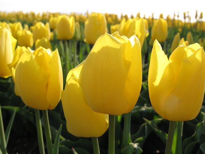 黄色のチューリップ_d0047885_21445679.jpg