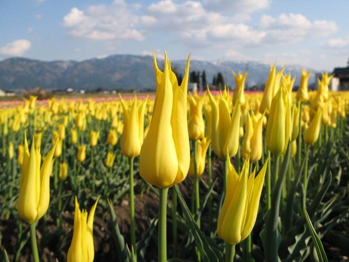 黄色のチューリップ_d0047885_2281448.jpg