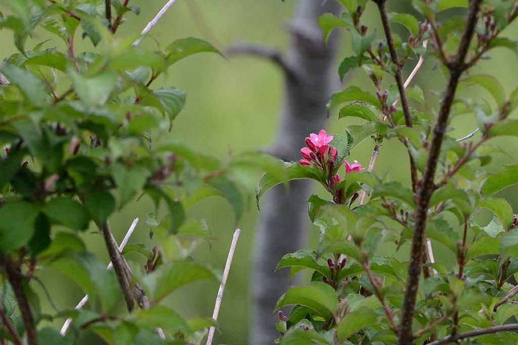 夏の星座達/アカハラ/カワセミ雄雌/ウツギの花/ナルコユリ(アマドコロ)_b0024798_15142525.jpg
