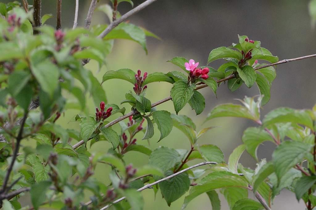 夏の星座達/アカハラ/カワセミ雄雌/ウツギの花/ナルコユリ(アマドコロ)_b0024798_15143674.jpg