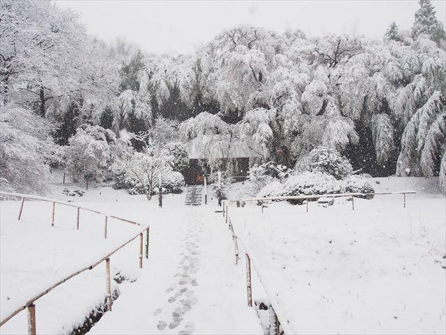 雪村桜_f0224100_5362434.jpg