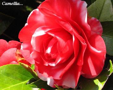 遅咲きの椿に魅かれて・・・☆_c0098807_20183387.jpg
