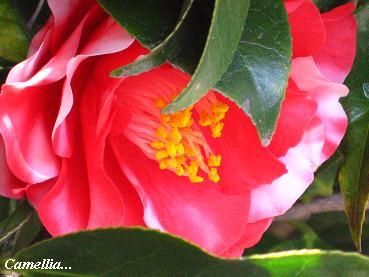 遅咲きの椿に魅かれて・・・☆_c0098807_20255277.jpg