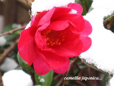 遅咲きの椿に魅かれて・・・☆_c0098807_20304359.jpg