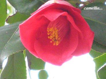 遅咲きの椿に魅かれて・・・☆_c0098807_20362833.jpg
