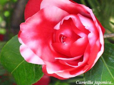 遅咲きの椿に魅かれて・・・☆_c0098807_20434183.jpg