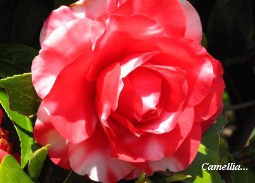 遅咲きの椿に魅かれて・・・☆_c0098807_2044152.jpg