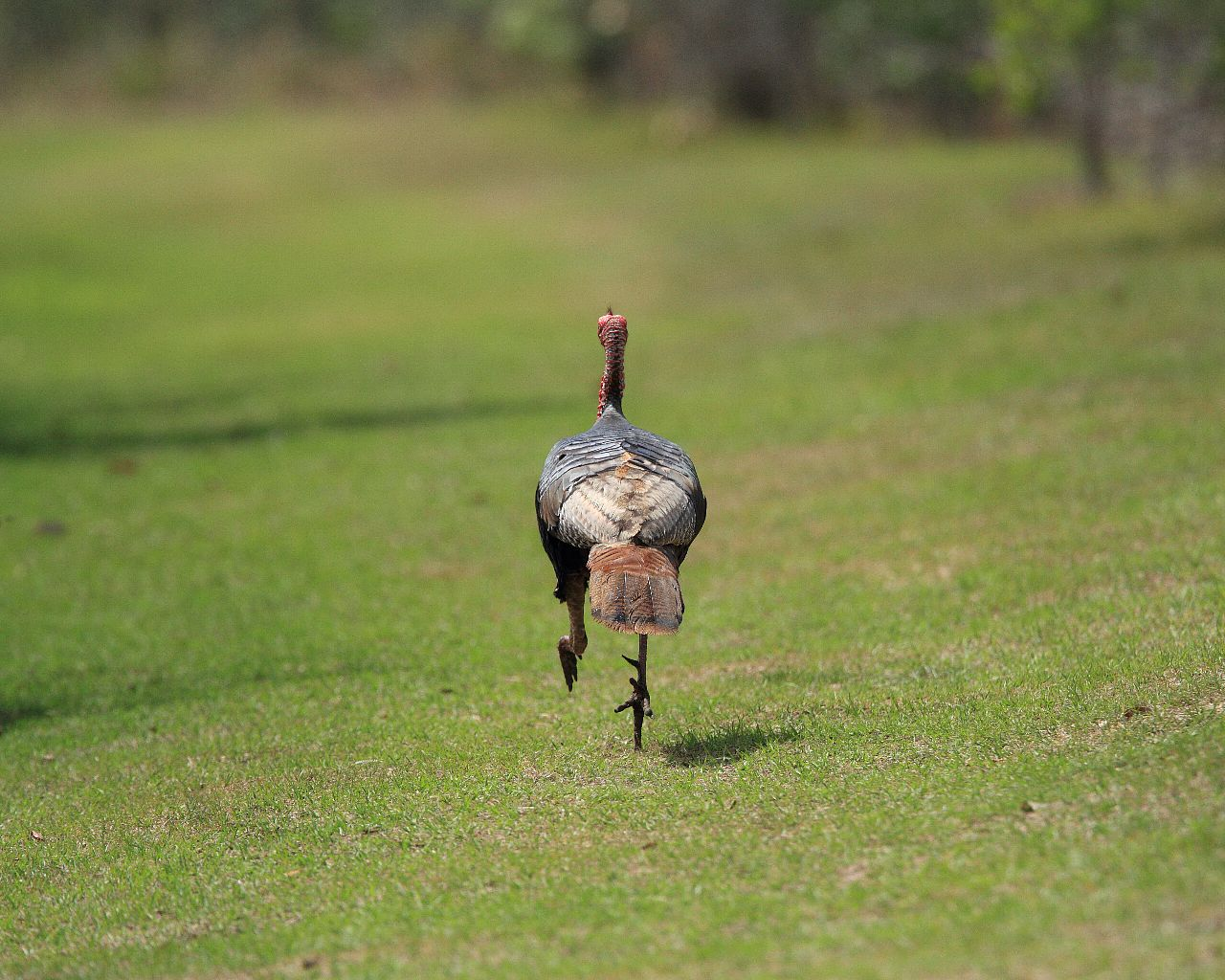 フロリダの鳥2013年春その12: 走って逃げる七面鳥_f0105570_21244316.jpg