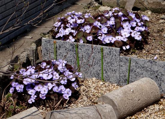 小さな段々花壇のタツタソウ(2013) ヒメリュウキンカなど_a0136293_1750920.jpg