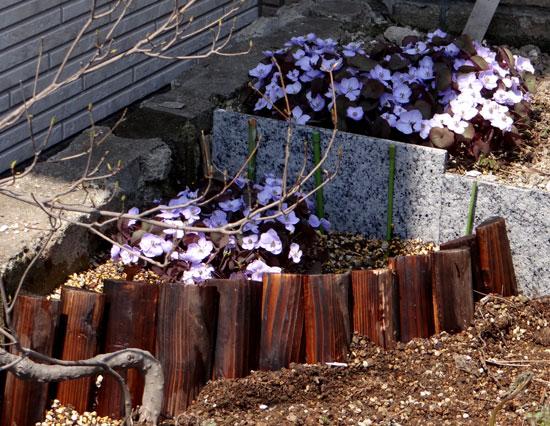 小さな段々花壇のタツタソウ(2013) ヒメリュウキンカなど_a0136293_17595967.jpg