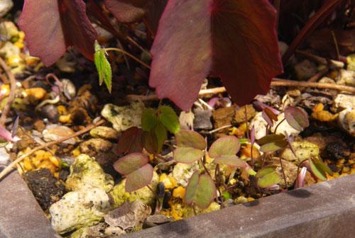 小さな段々花壇のタツタソウ(2013) ヒメリュウキンカなど_a0136293_19103775.jpg