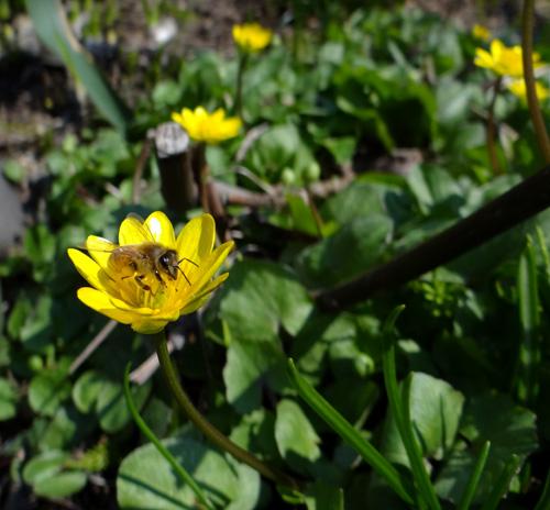 小さな段々花壇のタツタソウ(2013) ヒメリュウキンカなど_a0136293_19134625.jpg