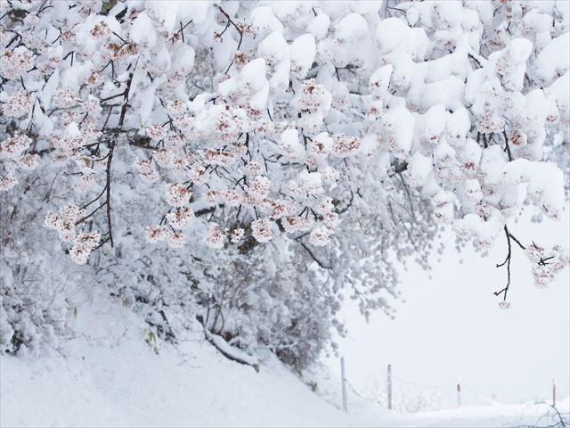 雪と花_f0224100_7383635.jpg