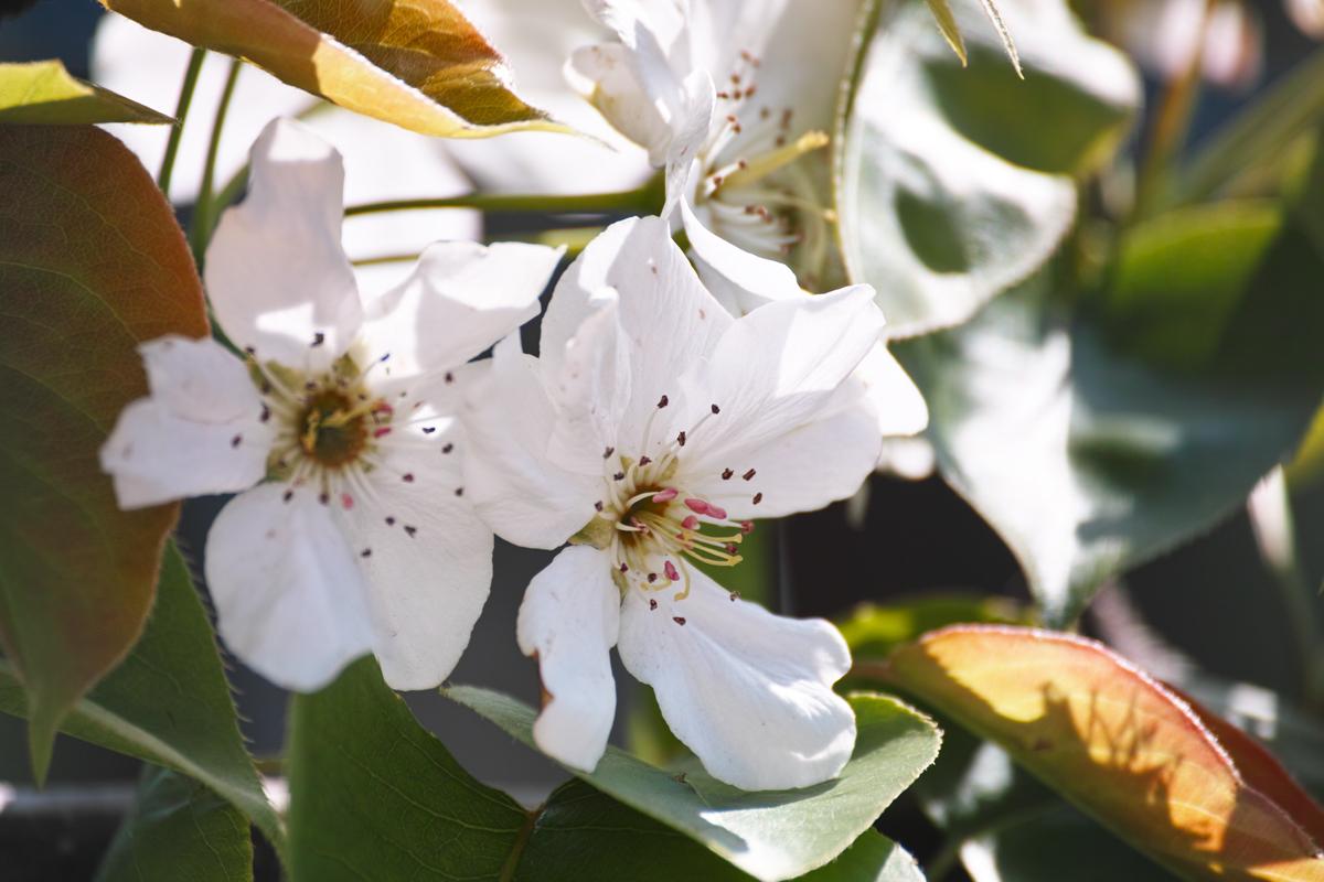 梨の花 ~鎌ヶ谷市・初富の春~_c0223825_1361694.jpg