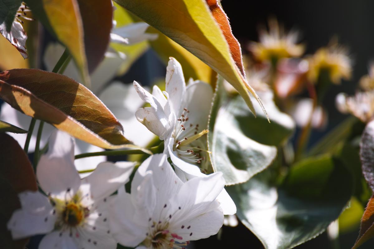 梨の花 ~鎌ヶ谷市・初富の春~_c0223825_1384777.jpg