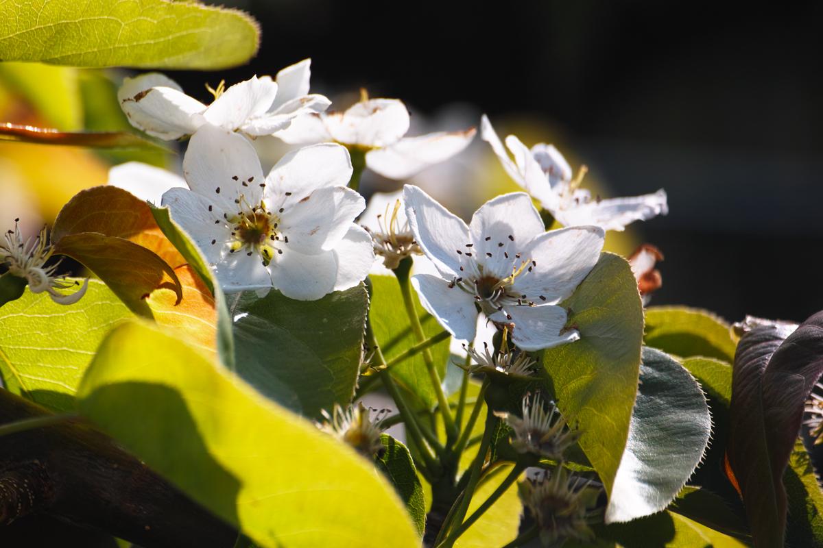 梨の花 ~鎌ヶ谷市・初富の春~_c0223825_1433934.jpg