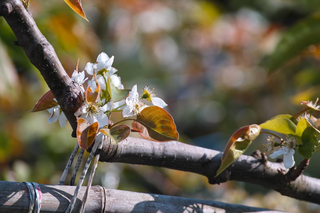 梨の花 ~鎌ヶ谷市・初富の春~_c0223825_1474133.jpg