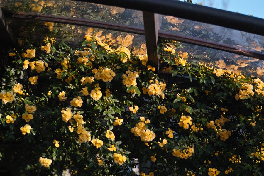 梨の花 ~鎌ヶ谷市・初富の春~_c0223825_15645100.jpg
