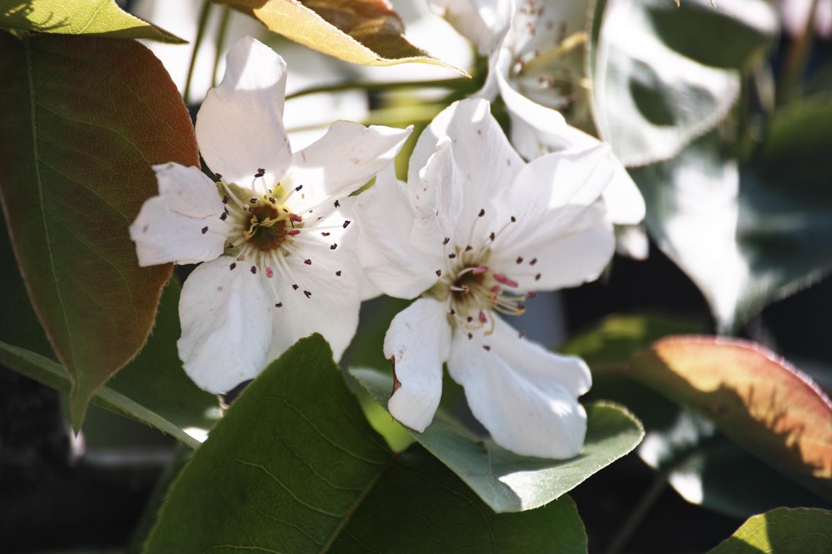 梨の花 ~鎌ヶ谷市・初富の春~_c0223825_214895.jpg