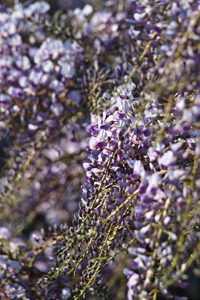 梨の花 ~鎌ヶ谷市・初富の春~_c0223825_225248.jpg