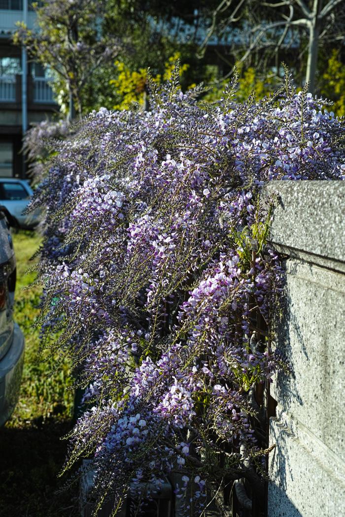 梨の花 ~鎌ヶ谷市・初富の春~_c0223825_242028.jpg