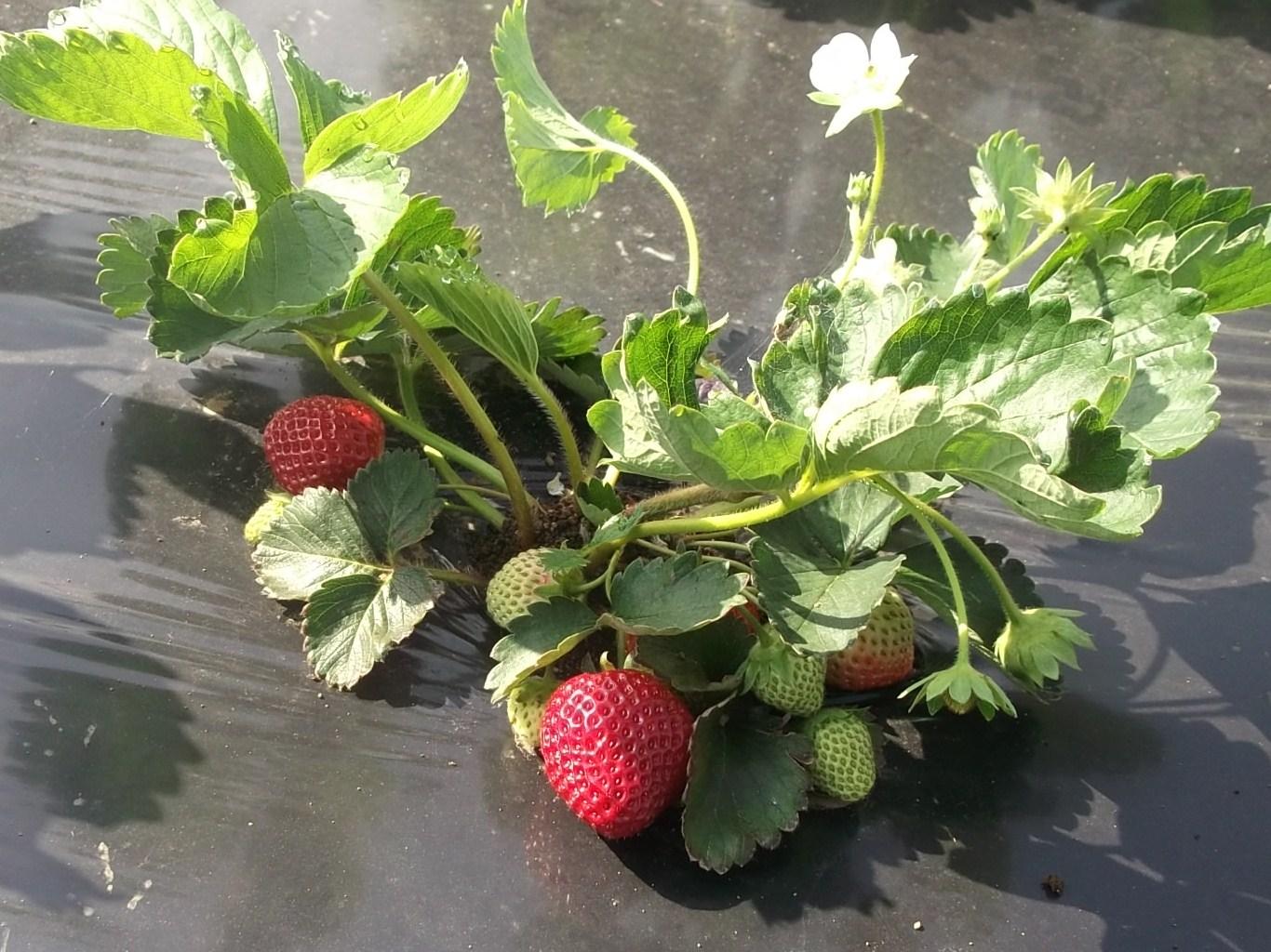 イチゴ赤くなりました.....初収穫です!_b0137932_21212269.jpg