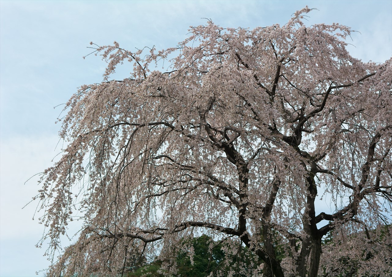 春の本土寺 1_f0018464_6535618.jpg