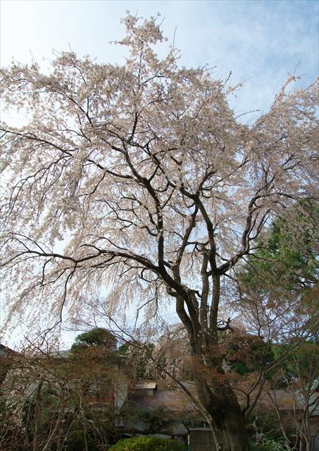 春の本土寺 1_f0018464_720754.jpg