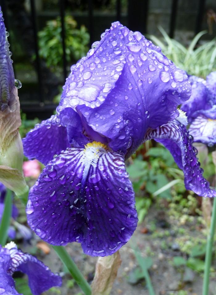 雨後のイチハツ_b0093088_6275848.jpg