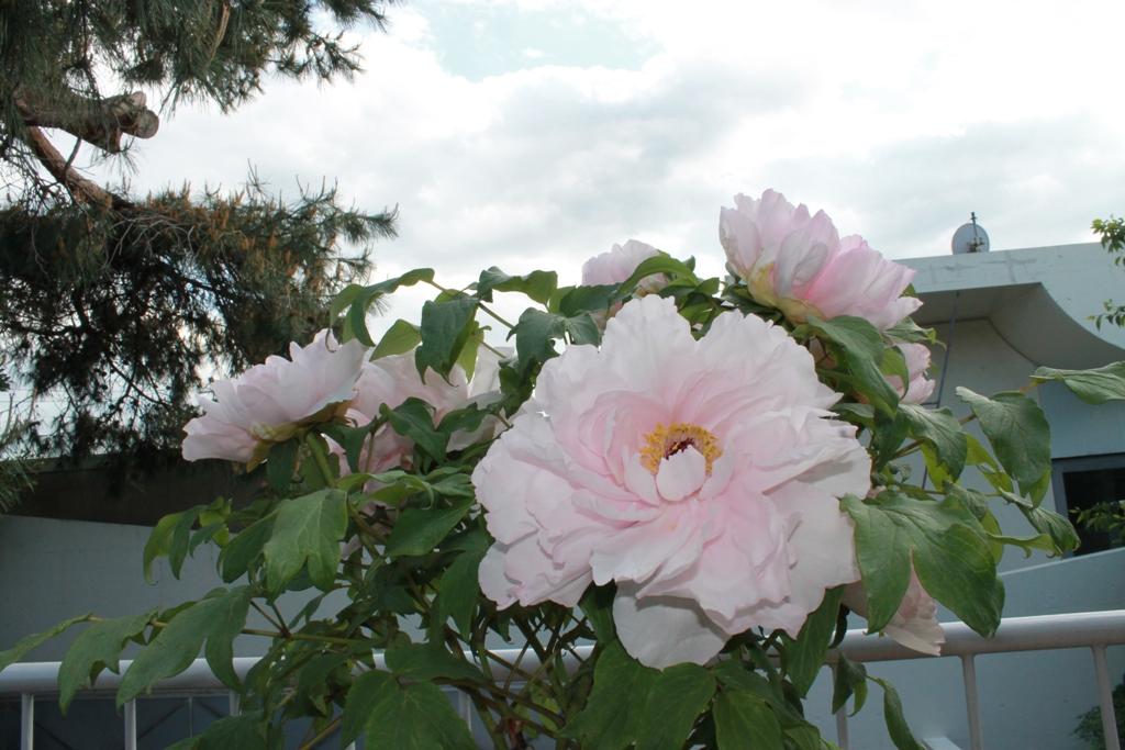 粉紅牡丹・紫紅牡丹_f0070743_192957.jpg