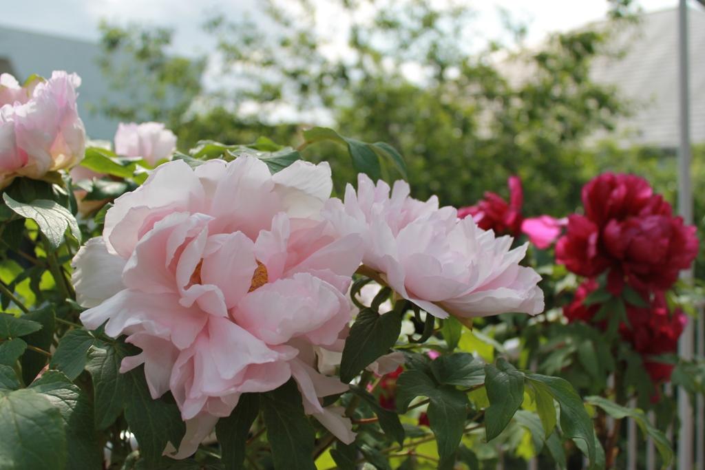 粉紅牡丹・紫紅牡丹_f0070743_192957100.jpg