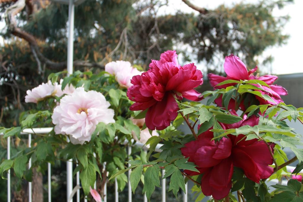 粉紅牡丹・紫紅牡丹_f0070743_19303463.jpg