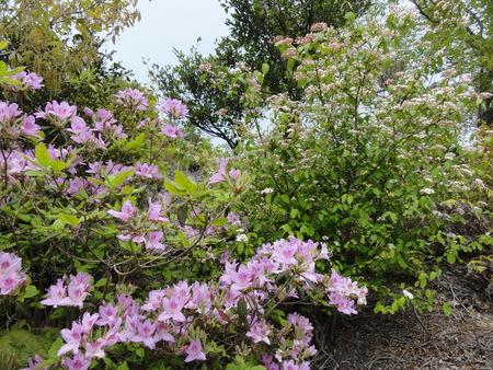 キンランが咲き始めました  in  孝子の森_c0108460_0144957.jpg