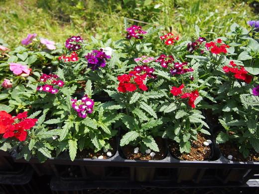 花の苗、大きくなっています!(八丈農園にて)_e0097770_0195339.jpg