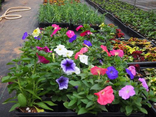 花の苗、大きくなっています!(八丈農園にて)_e0097770_0201976.jpg