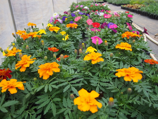 花の苗、大きくなっています!(八丈農園にて)_e0097770_0204232.jpg