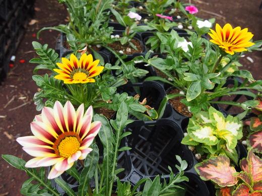 花の苗、大きくなっています!(八丈農園にて)_e0097770_020564.jpg