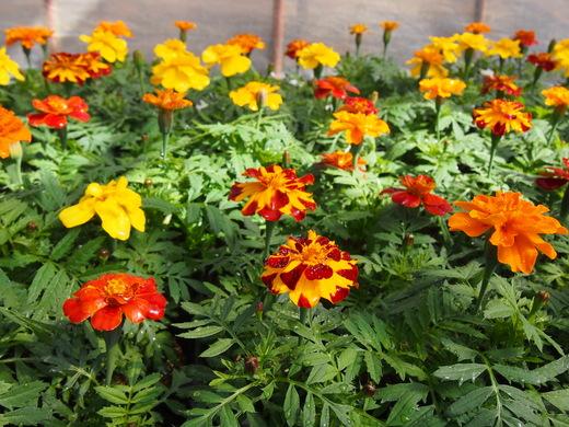 花の苗、大きくなっています!(八丈農園にて)_e0097770_0254260.jpg