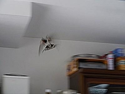 部屋に飛び込んだ燕_b0175688_23331425.jpg