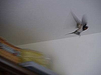 部屋に飛び込んだ燕_b0175688_23332722.jpg