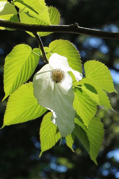 珍しい花&面白い名称の木_d0150720_6552262.jpg
