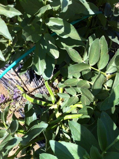 蚕豆の鞘が付いてきました 早いな~ 慌てて防鳥ネットはりを・・_c0222448_1514583.jpg