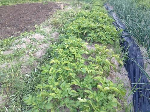 菜園再開_b0161750_22253836.jpg