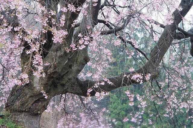 枝垂れ桜_c0155950_758054.jpg
