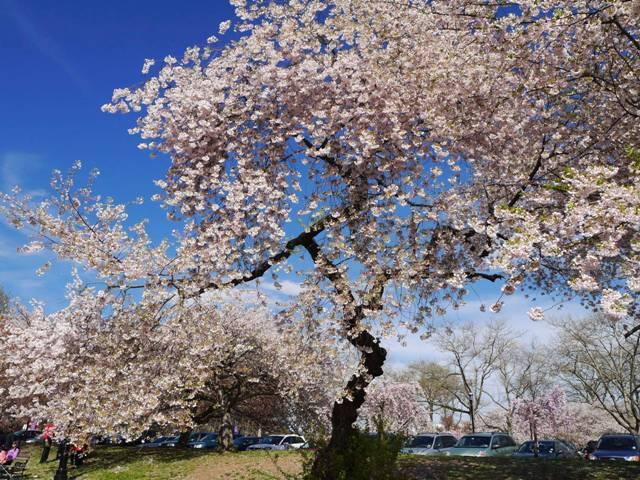NY郊外の桜&アンチエイジングの秘訣_b0173754_0262832.jpg