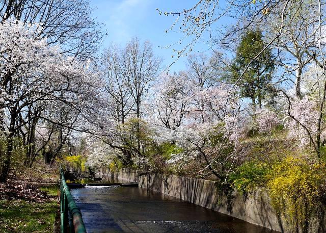 NY郊外の桜&アンチエイジングの秘訣_b0173754_0275854.jpg