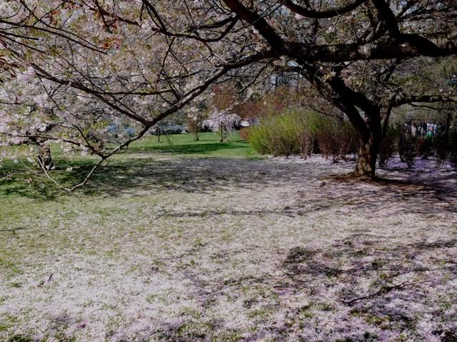 NY郊外の桜&アンチエイジングの秘訣_b0173754_027948.jpg
