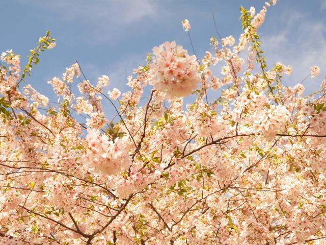 NY郊外の桜&アンチエイジングの秘訣_b0173754_0283154.jpg