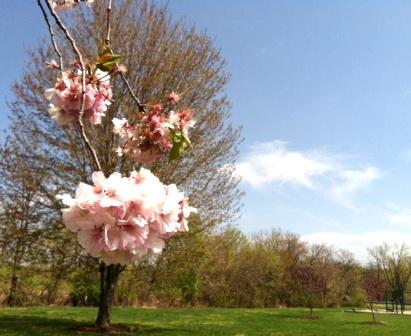 NY郊外の桜&アンチエイジングの秘訣_b0173754_1129209.jpg